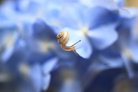 living organisms: Snails on hydrangeas