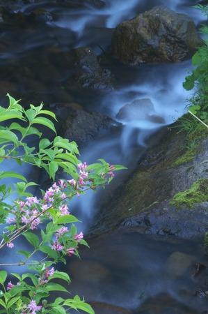mountain stream: Mountain stream and weigela Stock Photo