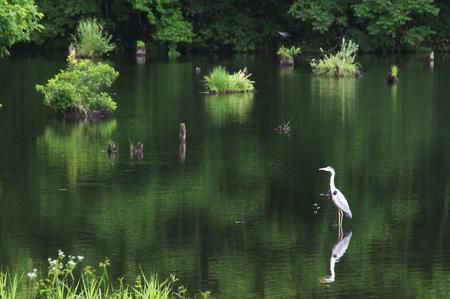swamp: Magarisawa swamp and herons Stock Photo