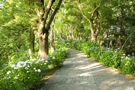 blooms: Hydrangea blooms Shimoda Park