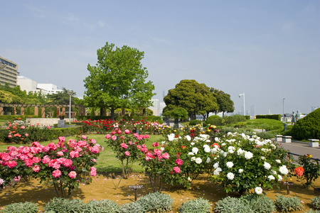 early summer: Early summer of Yamashita Park