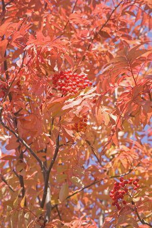 eberesche: Autumn rowan