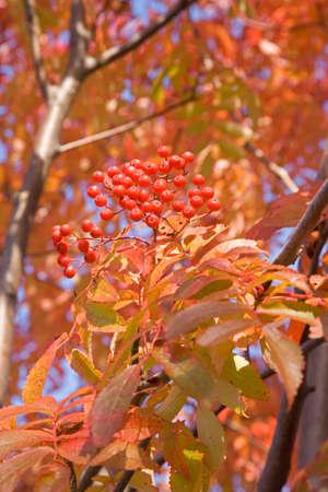rowan: Autumn rowan