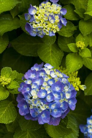 florid: Hydrangea