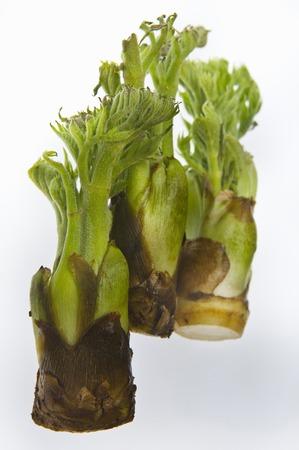 aralia: Bud of cod Stock Photo