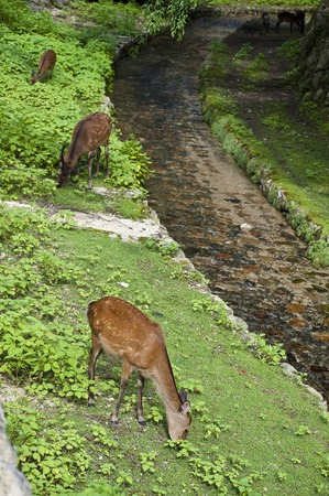 deer  spot: Miyajima deer Stock Photo