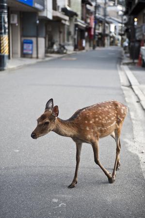 animal only: Miyajima deer Stock Photo