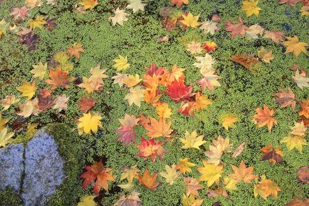 fallen leaves: Fallen leaves