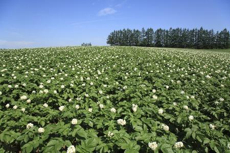 ジャガイモ畑 写真素材