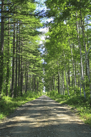 straight path: Larch forest