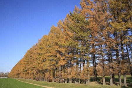larch: Larch tree-lined