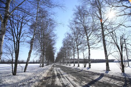 treelined: Birch tree-lined winter