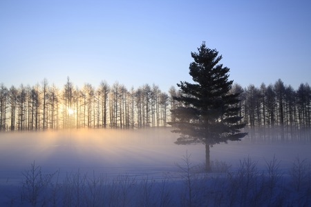 severe: Sunrise of the severe winter of larch shelterbelt