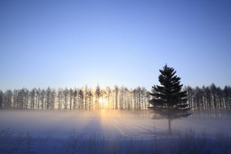 winter sunrise: Sunrise of the severe winter of larch shelterbelt