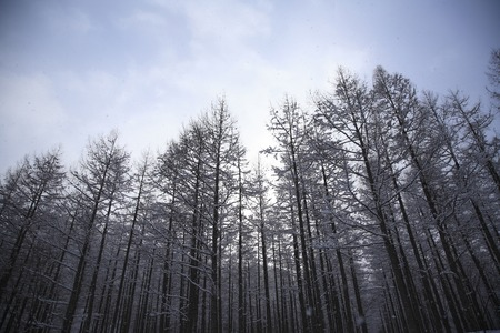 larch: Winter larch forests