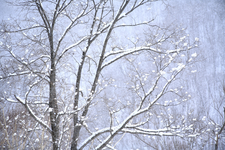 snowcovered: Trees and Snow-Covered Stock Photo