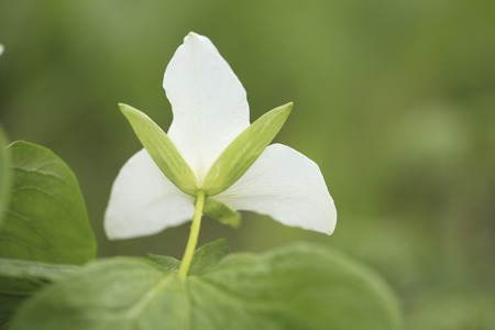 pall: Trillium kamtschaticum Pall Stock Photo