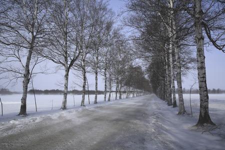 treelined: Winter birch tree-lined Stock Photo