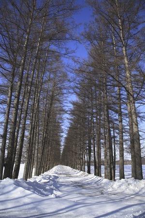 treelined: Winter larch tree-lined