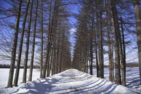 larch: Winter larch tree-lined