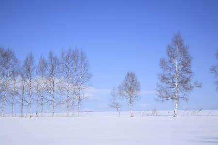 snowfield: Snowfield of white birch
