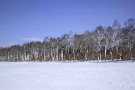 snowfield: Birch forest snowfield
