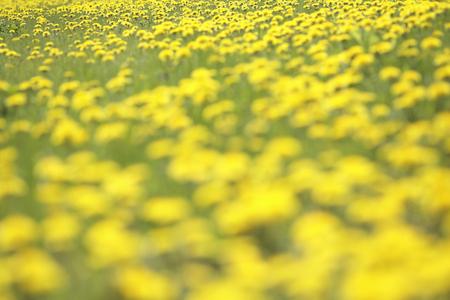 gregarious: Dandelion gregarious Stock Photo
