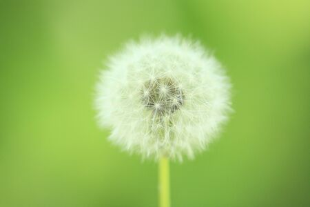 tage: Dandelion fluff Stock Photo