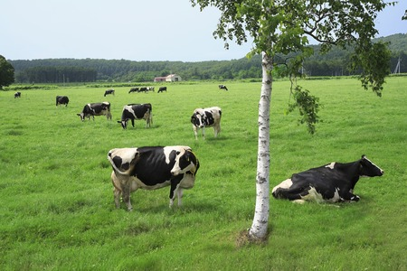 cattle grazing: Cattle grazing land
