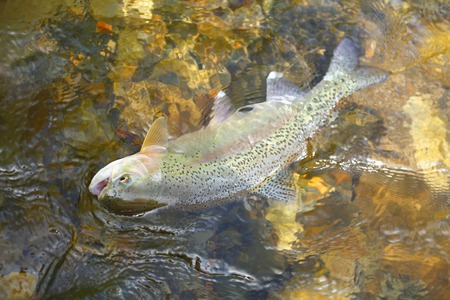 rainbow trout: Rainbow Trout Oncorhynchus mykiss