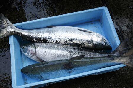 salmon fishery: Salmon fishing
