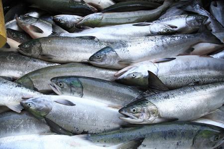 salmon fishing: Salmon fishing