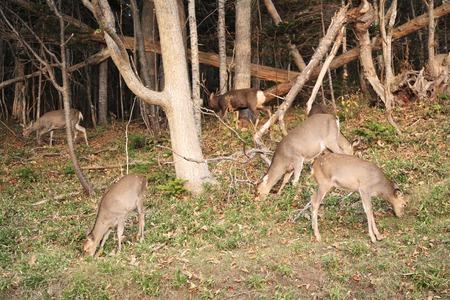 animal only: Sika deer