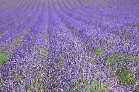 garden scenery: Fields of lavender