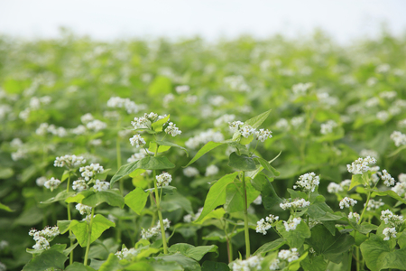 buckwheat: Buckwheat field Stock Photo