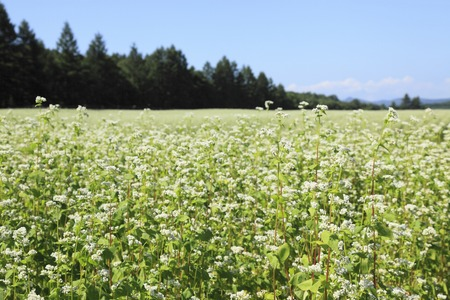 buckwheat: Blooming buckwheat