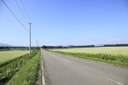 straight path: Blooming buckwheat