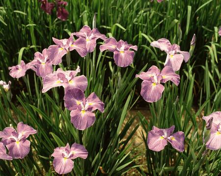 nagara: Iris Nagara Stock Photo