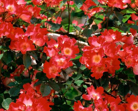 honshu: Roses cocktail