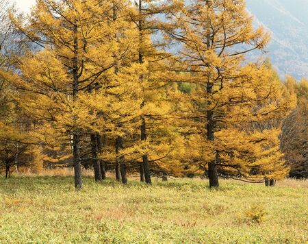 larch: Larch yellow leaves Stock Photo