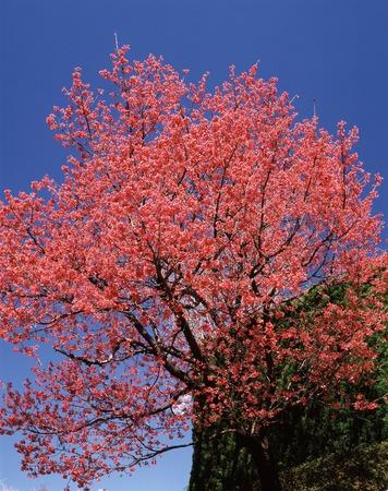 scarlet: Scarlet cold cherry