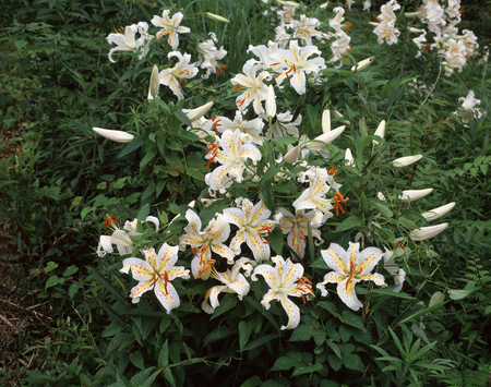 gregarious: Gold-banded lily gregarious