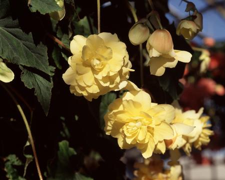 sweetie: Bulbs Bekonia yellow Sweetie