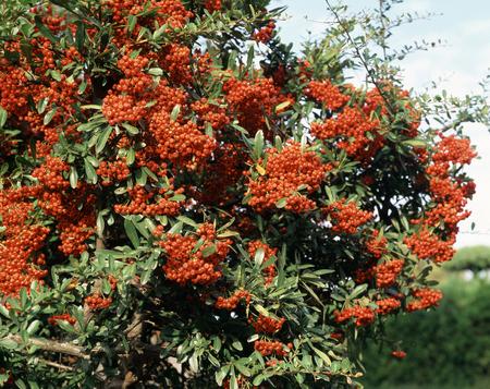 honshu: Pyracantha fruit