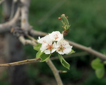 lit: Pear flower Maruge lit Marie La