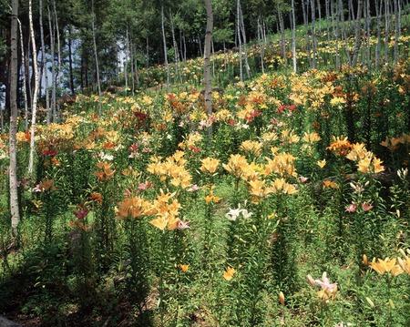 plateau of flowers: Village of Fujimi plateau lily