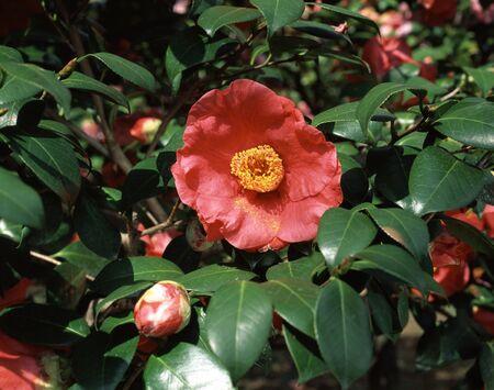 edith: Camellia Edith Linton