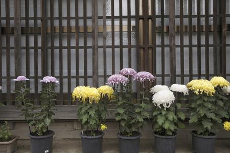grating: Umino grating and chrysanthemum