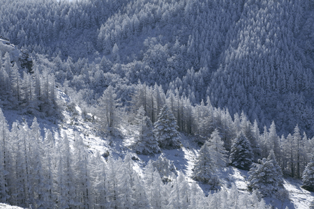 larch: Larch forests of rime