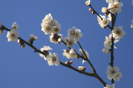Plum winter solstice